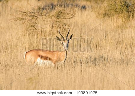 Adult Springbuck Ram Standing In The Field In The Kalahari Region In The Northern Cape Province Of S