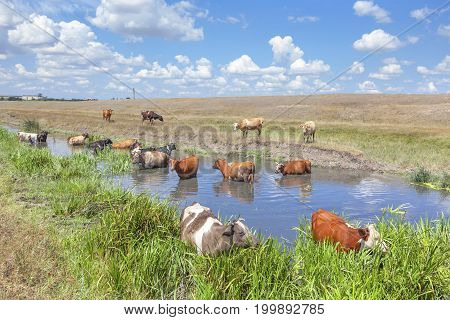 summer scene with cows in the water