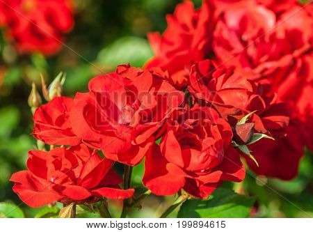 rose flower grade andalusien, dense clusters of bright red flowers in full bloom, lit by sunlight, summer period, against background green foliage and blurred roses in flowering, closeup, many flowers