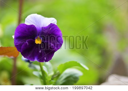 Close-Up Purple white Pansy flower (Viola tricolor). Close-up.