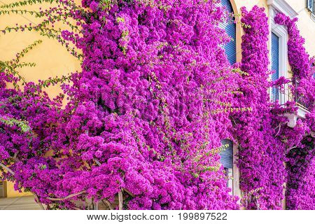 Beautiful bright purple flowers on a yellow building. Monterosso al Mare, Italy. Cinque Terre beauties.