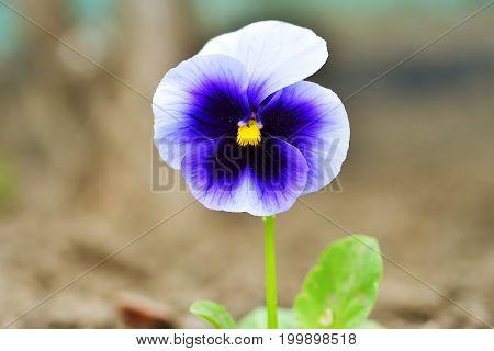 Purple white pansy flowers (Viola tricolor). Close-up.