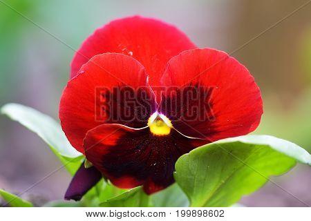 Dark red pansy flowers background. On gardan