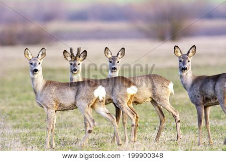 herd of roe deers on meadow ( Capreolus capreolus )