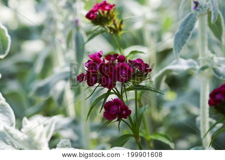 floral background, green ground cover of fluffy leaves of plants, Stachys woolly or Stahis