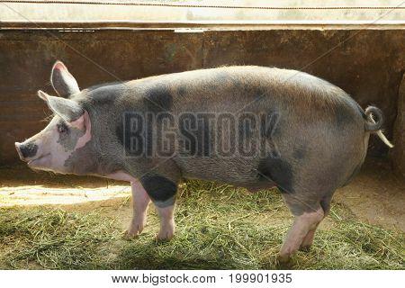 Cute domestic pig at the farm