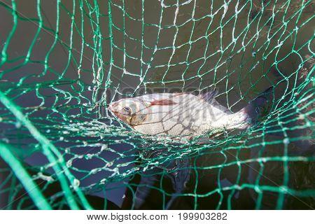 Bream (Abramis brama) caught on fishing rod in landing net close-up summer fishing bream