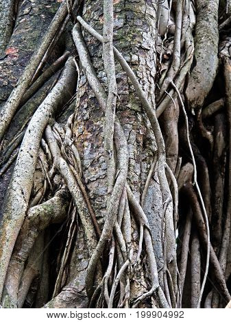 Closeup Old Root of Sacred Fig or Bodhi Tree