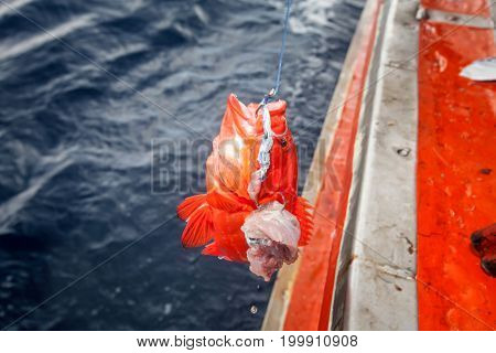 Fishing Grouper Fish And Pulling Up From The Sea