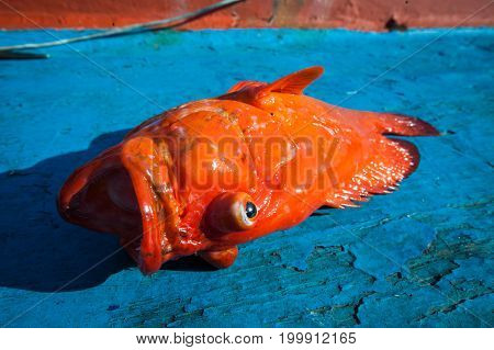 Fresh Red Grouper On The Blue Wooden Floor