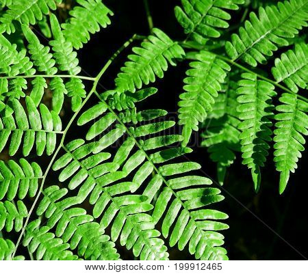 The bright green leaves of Forest Ferns