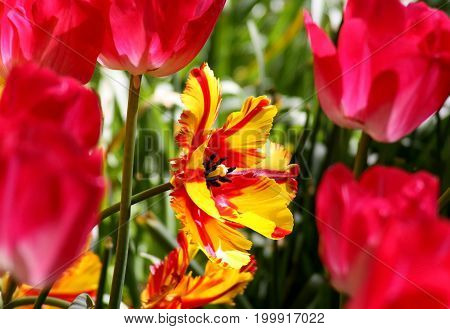 Variety of tulips close-up