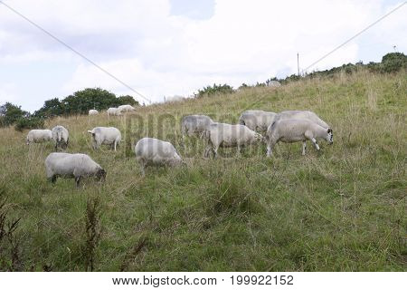 Small flock of Dartmoor Sheep grazing in field