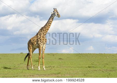Giraffe (Giraffa camelopardalis) crossing savanna grasslands with cloudy sky in background Serengeti National Park Tanzania