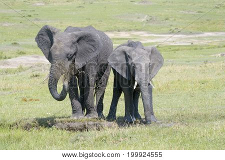 African Elephant (Loxodonta africana) standing together and throwing mud at a waterhole Serengeti national park Tanzania.