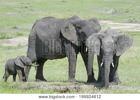 African Elephant (Loxodonta africana) family standing together with a small baby behind at a waterhole Serengeti national park Tanzania.