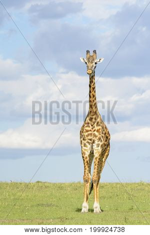 Giraffe (Giraffa camelopardalis) crossing savanna grasslands looking at camera with cloudy sky in background Serengeti National Park Tanzania.