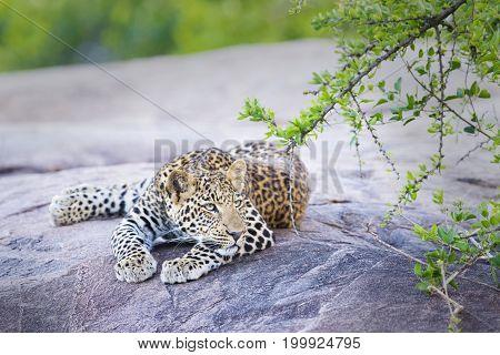 Leopard (Panthera pardus) resting on a rock under an acacia tree Serengeti national park Tanzania.