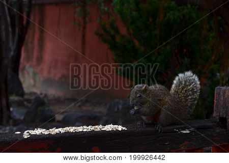 A Squirrel Eating Some White Grains