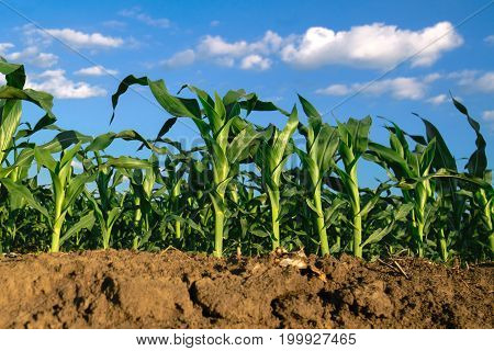 Corn plants growing in cultivated agricultural field low angle with soil in foreground and blue sky in background