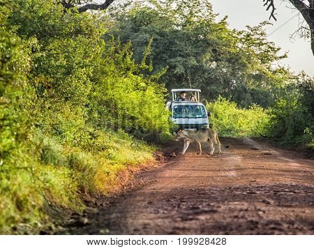 Lion crossing a road in front of tourist in safari car Nairobi National Park Kenya