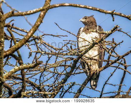 Marital Eagle Looking Aside Sitting On The Top Of African Tree, Kenya