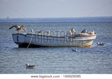 Herring Gulls on the boat in the wild