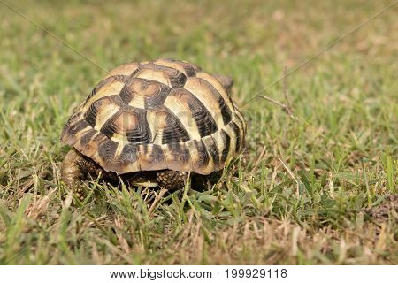Leopard Tortoise Walking Slowly On Sand With His Protective Shell