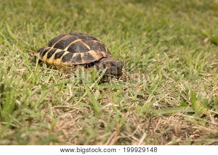 Leopard Tortoise Walking Slowly And Sunbathe On Ground With His Protective Shell ,cute Animal Pictur