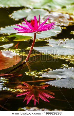 Beautiful blossom pink lotus flower in swamp