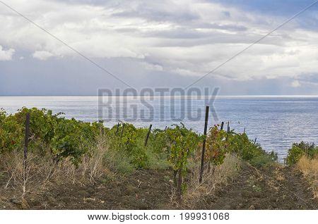 Neglected vineyard on a Black Sea shore Crimea Ukraine.