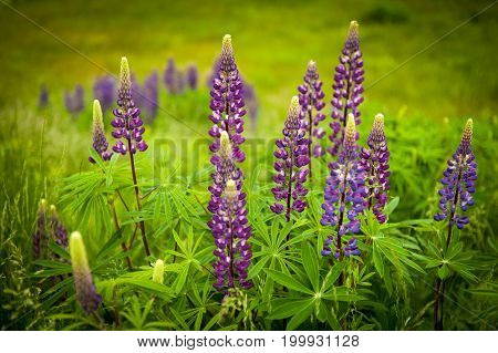 Flora found mostly in the Maritimes, beautiful Lupins