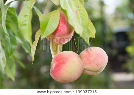 Branch Of Peach In The Garden With Beautiful Peaches Almost Ripe