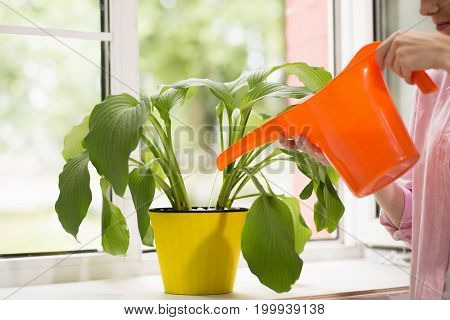 Woman pouring plant with water can. Female watering plant in yellow flower pot with orange water can.