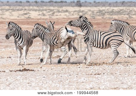 A Burchells zebra stallion Equus quagga burchellii kicking with both hind legs during a fight with another zebra in Northern Namibia