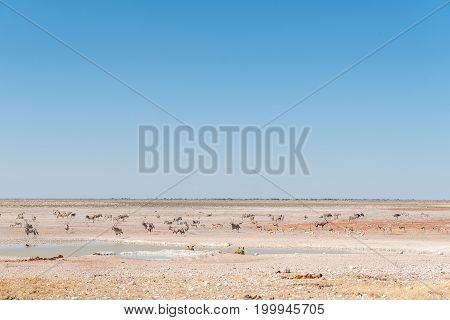 Two lionesses watching oryx springbok and Burchells zebras at a waterhole