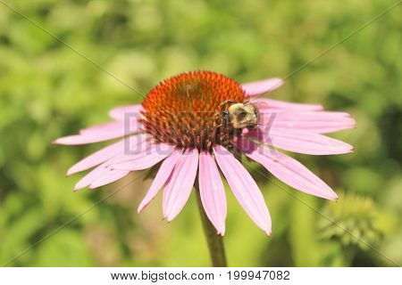 Purple Cone flower with a bumble bee growing in a garden