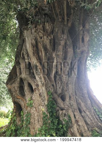 Thousands years old mediterranean olive tree trunk