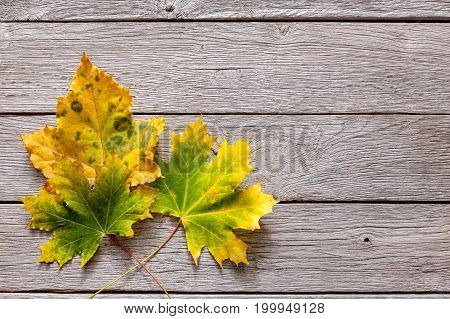 Fall season background, yellow chesnut leaves on rustic wood background with copy space.