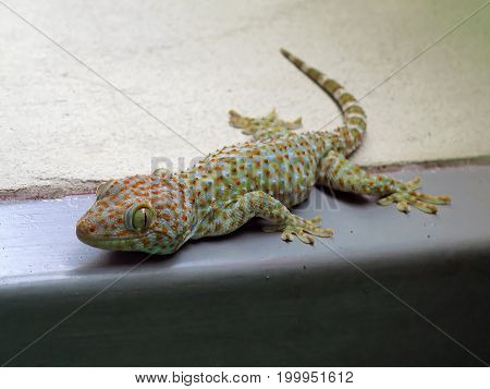 The colorful local gecko is easily found in Asia. This picture of gecko is on the floor.