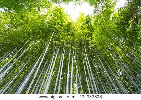 Autumn season walking the famous street a major tourist attraction in Kansai region Bamboo grove Bamboo Forest at Arashiyama Kyoto Japan. Popular people and photographer.