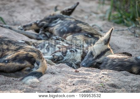 A Pack Of African Wild Dogs Resting.