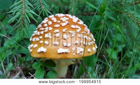 Poisonous mushroom Amanita.Fly agaric Amanita muscaria Two toadstools side by side in the grass Symbol of luck White dotted red mushrooms