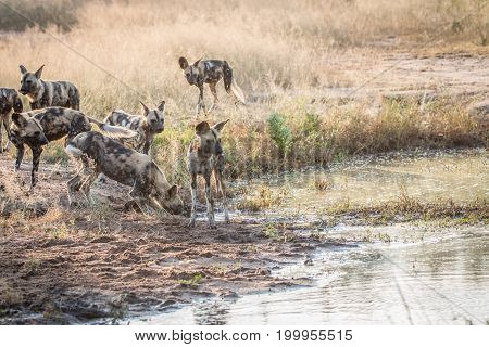 Several African Wild Dogs Next To The Water.