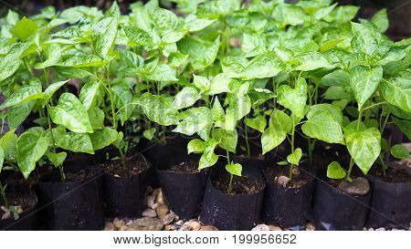Small chili sapling tree in garden. Little green plant chili sapling agriculture concept.