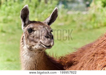 Isolated Image Of A Llama Looking At Camera