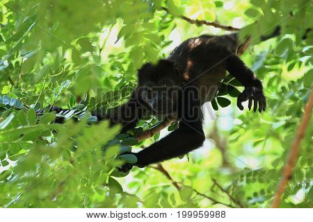 close up of a baby howler monkey up a tree in the rainforest of Costa Rica