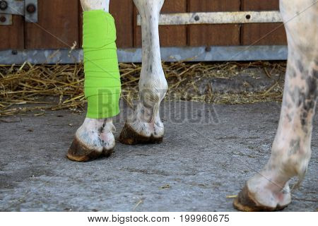 Green bandage placed on the anterior of a white horse's leg