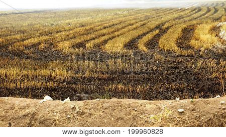Burn vegetable plots to clearing for replanting at Bangboathong Nonthaburi province is suburb of Thailand Asia.