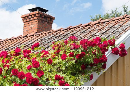 Red roses climbing upwards on an old tiled roof